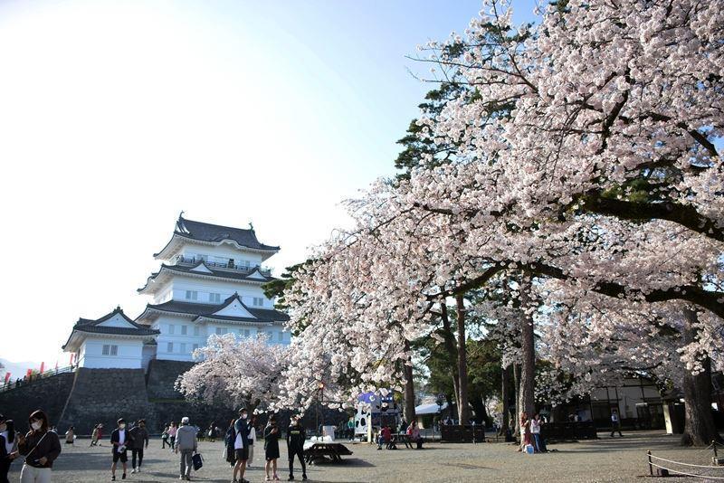 天守閣と桜 (3)