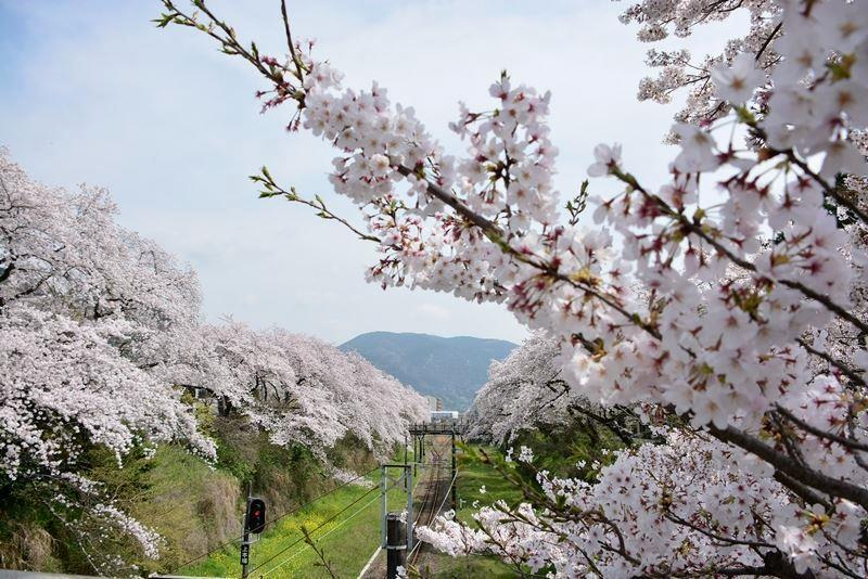 山北の桜 (3)