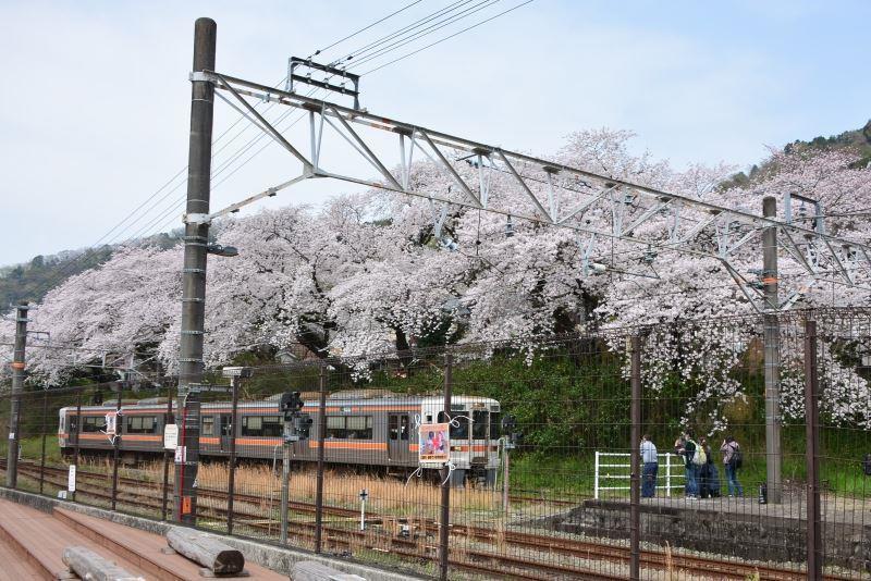 山北の桜 (11)