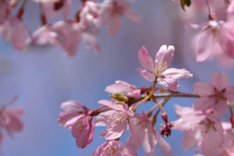 枝垂れ桜s (5)