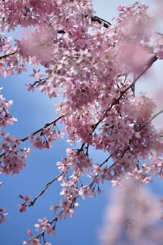 枝垂れ桜s (4)