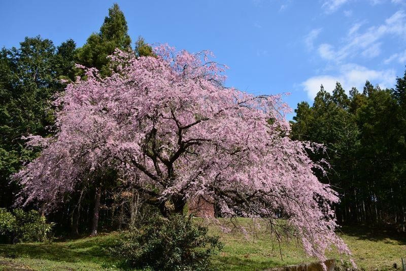 枝垂れ桜s (1)