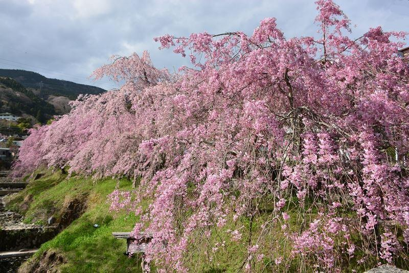 宮城野の桜 (3)