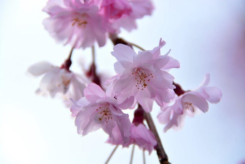 宮城野の桜 (5)