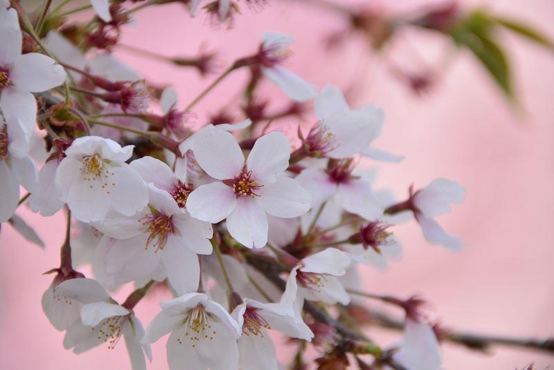宮城野の桜 (2)