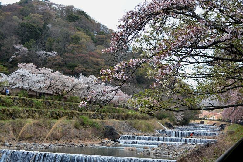 宮城野の桜 (13)