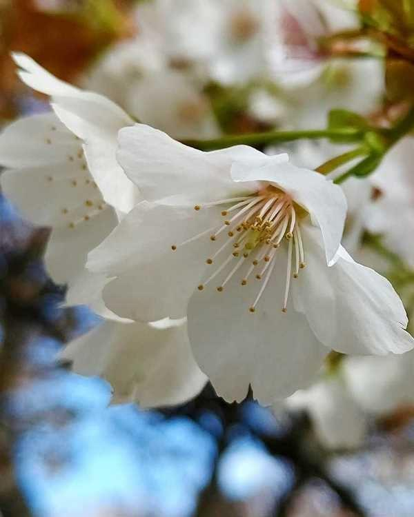 宮城野の桜 (9)