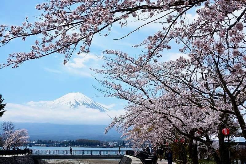 河口湖の桜 (7)