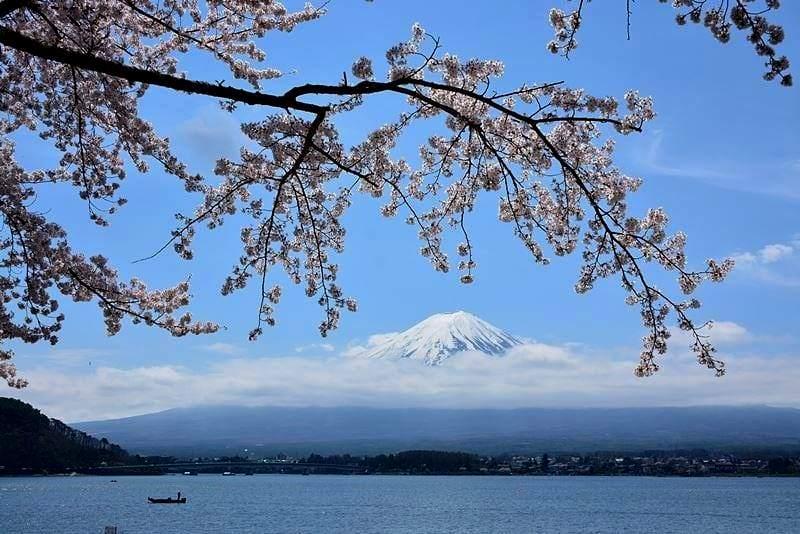 河口湖の桜 (6)