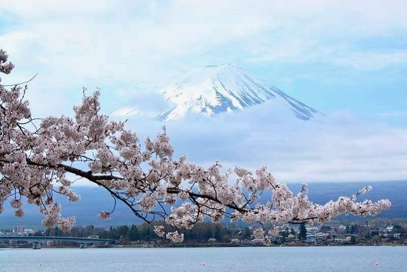 河口湖の桜 (3)