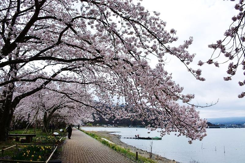 河口湖の桜 (2)