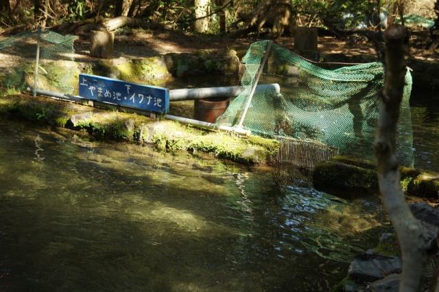 イワナとヤマメの池