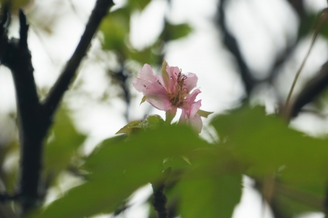 庭の河津桜が咲いた!2020年秋