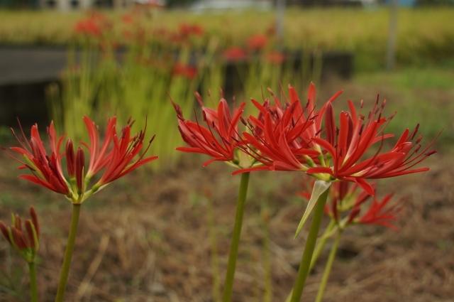 田んぼでも彼岸花が咲いてます