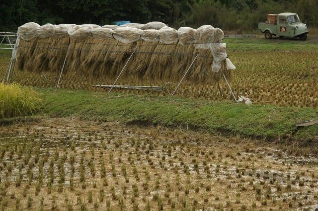 稲刈りの終わっていないたんぼと稲架掛けとミゼット