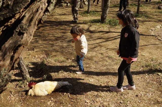 梅林で鶏と戯れる