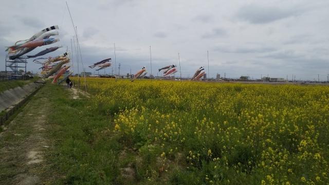 菜の花畑と鯉のぼり