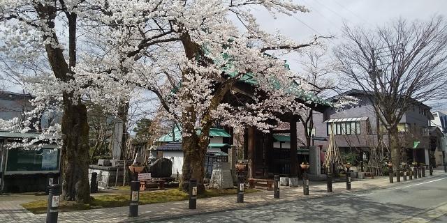 智泉院の山門と桜