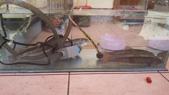ちいさな水槽でごめんなさい。岩魚と山女魚がいる玄関先