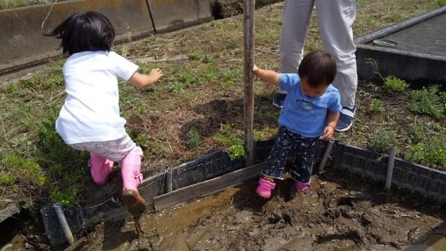 子どもたち、田んぼに入る