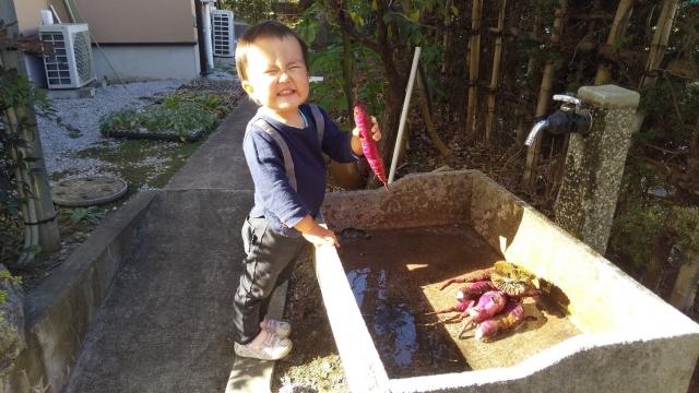 芋を洗います。