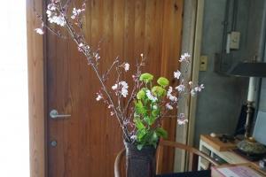 桜とピンポン菊1