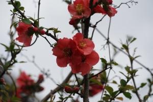 ボケ開花2