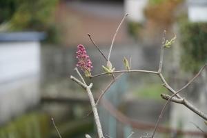 リラ開花1