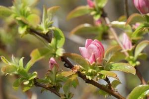 カリンの花3