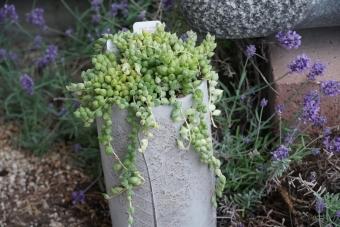 エンゼルティア―ズ錦 多肉植物1