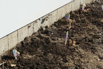 桔梗の苗 植える