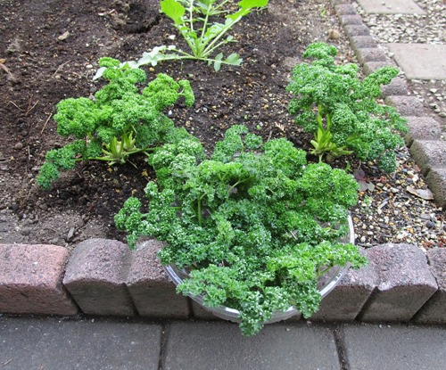 200321parsley