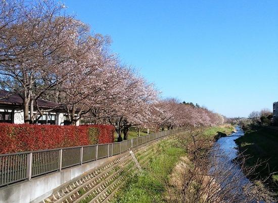 200324sakura_nogawa2
