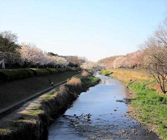 200325sakura_nogawa3