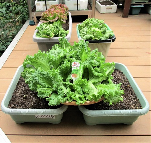 200516leaf-lettuce2