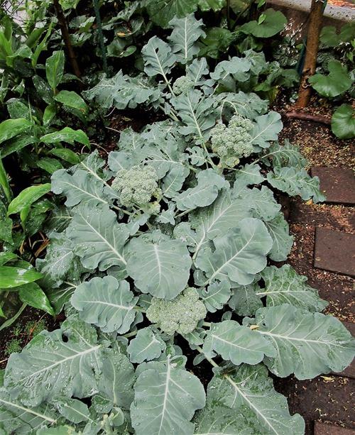 200519broccoli