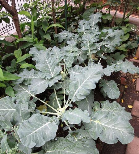 200523broccoli