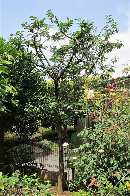 200608ume-tree2
