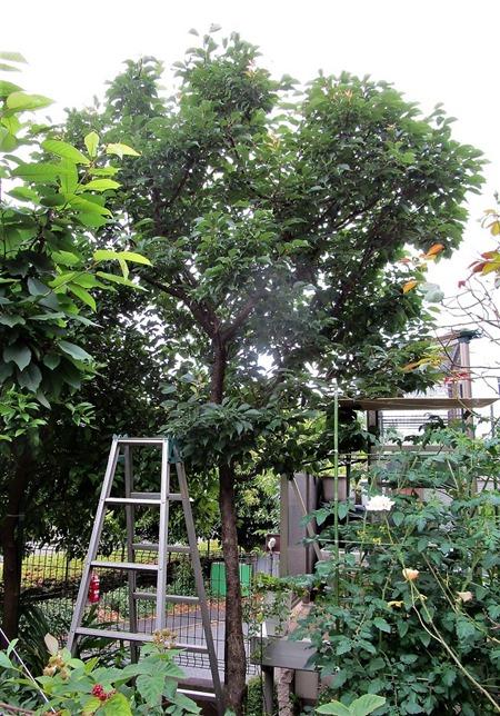 200608ume-tree