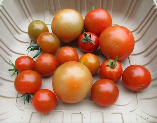 200624mini-tomato2