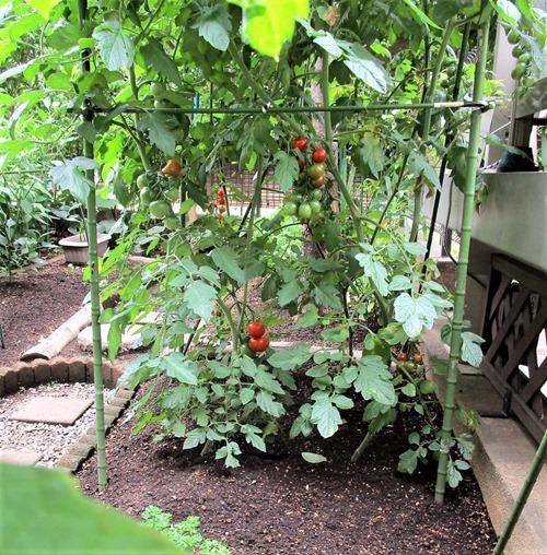 200624mini-tomato