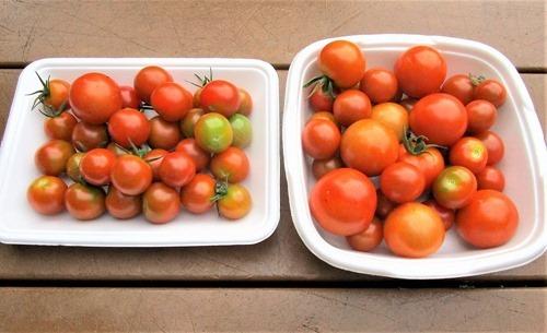200708mini-tomato