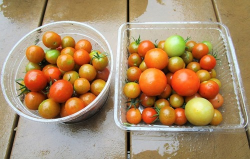 200718mini-tomato2