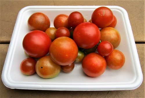 200730mini-tomato