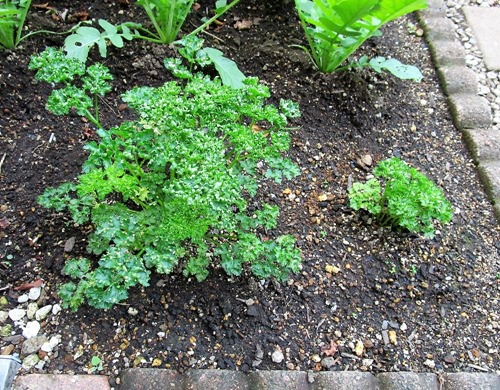 201030parsley