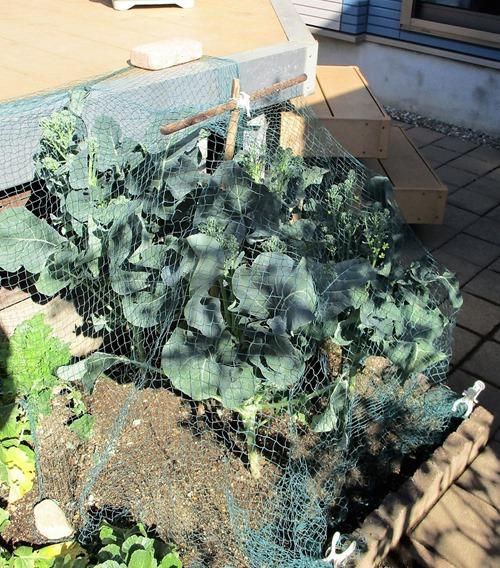 210217broccoli