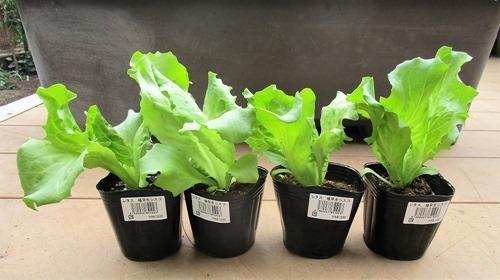 210320tama-lettuce