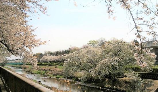210327nogawa-sakura3