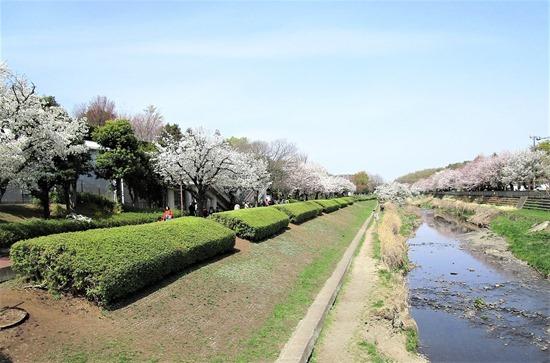 210327nogawa-sakura4