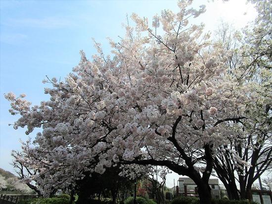 210327nogawa-sakura6